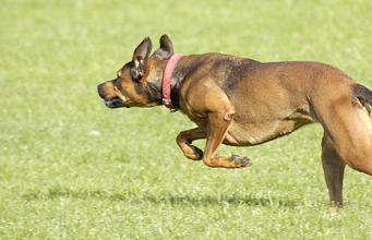 A dog running across the grass